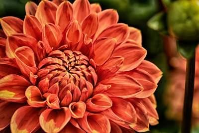 pomarańczowa dalia