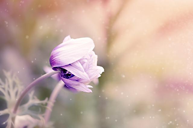 kwiat, fiolet