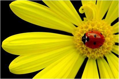 kwiat z biedronką