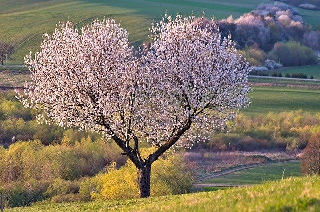 Drzewo z fioletowo-białymi pączkami